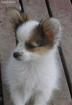 Papillon puppy - I want this puppy!!
