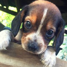 adorable little beagle puppy #beaglepuppy