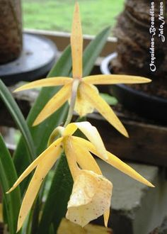 Orquídea: Bl. yellow bird 'H&R' / flores