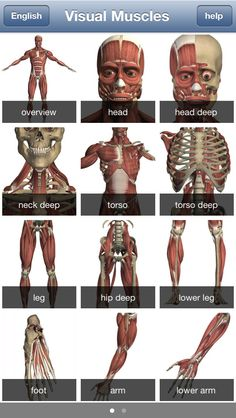 Visual Muscles 3D is an image-based 3D interactive reference, and education tool. It has more than 500 high-resolution images. All are generated from virtual 3D muscle models. It covers 145 major muscles including both deep and superficial muscles with name, action, origin, insertion and nerve supply. It also include pronunciation guide for each muscle.  64MB FRANCAIS