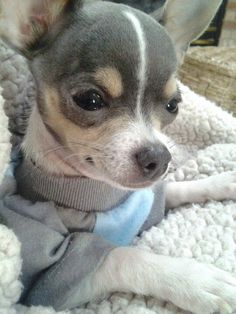 Beautiful blue chihuahua #adorable
