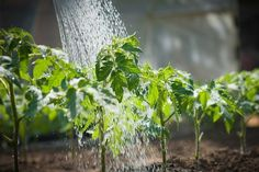 Watering The Garden - How To Avoid The 3 Most Common Mistakes! #gardenhosesideas