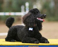 Miniature poodle by agilityfoot.  This handsome poodle looks exactly like my Cujo. Must be from same litter or breeder!