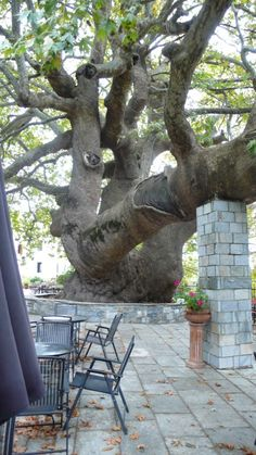 Pilion, Greece 1000 year old tree