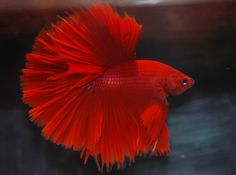 Red Halfmoon Betta..I love this one..Will keep me company in the office.. ;o Fish relax you!!