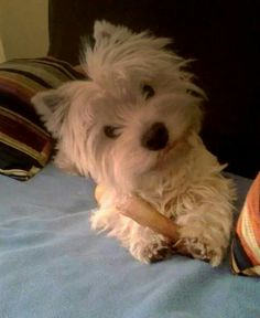from a FB account Westie Westies, Westie Puppies, Cute Puppies, Doggies, Chihuahua Dogs, Pet Dogs, West Highland White Terrier, Animals And Pets, Cute Animals