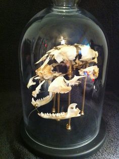 "Currently Reserved...Beauchene ""Exploded"" Raccoon Skull Glass Dome Mount Oddities Taxidermy"