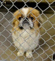 SAFE /// URGENT - CAGE 50 - AKYO  Brown/White Jap Chin; Male 4 Years  IMPOUND 11/26/13 | DUE OUT 12/3/13 @ 7 AM   Roswell Animal Control  705 E. McGaffey https://www.facebook.com/photo.php?fbid=225868260914512&set=a.226116064223065.1073741857.176246809209991&type=3&theater#!/photo.php?fbid=228152310686107&set=pb.176246809209991.-2207520000.1385675423.&type=3&theater