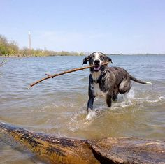 I love the beach! - Cherry Beach - Toronto, ON - Angus Off-Leash #dogs #puppies #cutedogs #bigdogs #toronto #ontario #dogparks #angusoffleash
