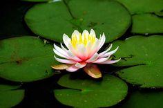 Vitória Regia - Jd. Botânico SP   Flickr – Compartilhamento de fotos!