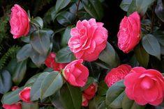 Nombre común o bien vulgar: Camelia, Camelio común Nombre científico o bien latino: Camellia japonica Familia: Teaceae. Origen: Asia oriental, China,...