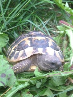 Are you thinking of buying a tortoise to keep? Tortoise pet care takes some planning if you want to be. Sulcata Tortoise, Tortoises, Turtles, Reptiles, Animals, Animals And Pets, Animales, Tortoise, Turtle