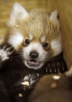 I'd put in a red panda, big or small. Just for my Daddy, they were his favorite. OKC Zoo has three new babies. :)