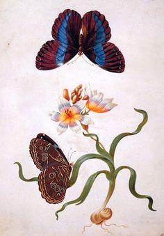 Merian Maria Sibylla Grasiris with exotic butterfly Sun