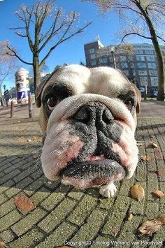 I'm coming for you! #English #Bulldog