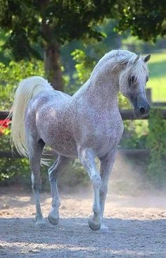 Dapple grey Arabian horse with flea bitten pattern coat. So pretty!