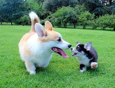 Son, it's time you learned about...girl puppehs  AAAAAAaaaaaaaaaaaaaaaaah corgilicious