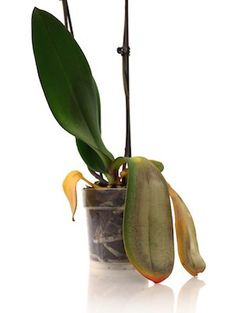 Spring has many benefits for your orchid, but it also comes with threats. Pay close attention to these four threats to keep your plant thriving.
