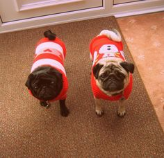These pugs in their matchy sweaters are so adorable!