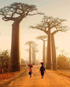 """The baobab is known as the """"Tree of Life"""" & is an iconic sight throughout Africa. (Avenue of the Baobabs, Madagascar) Baobab Tree, Cabin In The Woods, Africa Travel, Nature Photos, Places To See, Adventure Travel, Travel Inspiration, Travel Destinations, Travel Photography"""