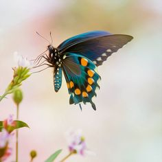 We delight in the beauty of the butterfly, but rarely admit the changes it has gone through to achieve that beauty ~~Maya Angelow ~~ Happy days - enjoy the weekend. www.worldorganic.com.au/katesmith
