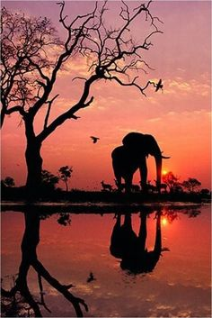 "African elephant silhouetted by the sunrise. ""Elephant at Dawn"", Botswana, Photograph by Frans Lanting African elephant silhouetted by the sunrise. ""Elephant at Dawn"", Botswana, Photograph by Frans Lanting Chobe National Park, National Parks, National Museum, Beautiful Creatures, Animals Beautiful, Animals Amazing, Pretty Animals, Frans Lanting, Reflection Pictures"