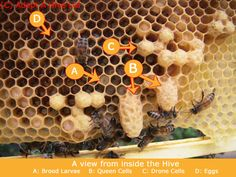 This interesting image shows, the hive preparing to swarm. You can see fresh eggs (D) so, there must be a Queen in the colony, there is developing larvae (A) and yet there are 2 Queen cells (B). There are also drone cells (C).