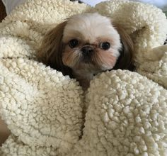 Shih Tzu Muffy - snug as a little bug in a rug