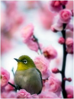 Sweet little bird---Japanese White-eye. Pretty Birds, Love Birds, Beautiful Birds, Pretty In Pink, Baby Animals, Cute Animals, Birds And The Bees, White Eyes, Mundo Animal