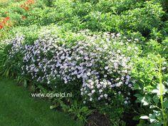 KALIMERIS incisa 'Alba' - Kalmaris/Skønasters, farve: hvid, lysforhold: sol, højde: 60 cm, blomstring: juni - september, god til bier og andre insekter, god til bunddække, velegnet til snit.