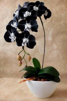 Excellent Photo black Orchid Flower Suggestions Have you got a lovely orchid in your own home that you aren't quite positive exactly how to maintain? Unusual Flowers, Unusual Plants, Rare Flowers, Exotic Plants, Amazing Flowers, Beautiful Flowers, Orchids Garden, Orchid Plants, Moth Orchid