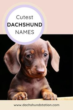 The Best Dachshund Name ideas for boy and girl Doxie dogs. Top Male, Female, and German Dachshund Names. These popular Dachshund names are the perfect match for your Doxie. Hundreds of creative and unique names for Dachshunds (Weiner Dogs) to choose from. german dachshund names popular Female Dachshund Names cute dachshund names Popular Dachshund puppy names.<br>// dachshund dog // dachshund puppy //<br>#dachshund Doxie Puppies, Dachshund Funny, Dapple Dachshund, Mini Dachshund, Weenie Dogs, Dogs And Puppies, Dachshund Quotes, Dachshund Rescue, Doggies