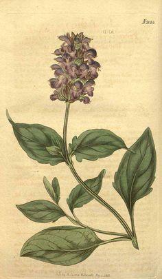 8998 Prunella grandiflora (L.) Jacq. var. latifolia / Curtis's Botanical Magazine, vol. 45: t. 2014 (1818) [n.a.]