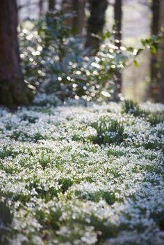 Garden Visit: Snowdrop Season at Painswick Rococo Garden - Gardenista Tiny White Flowers, Beautiful Flowers, Beautiful World, Beautiful Places, Cactus E Suculentas, Amazing Gardens, Wild Flowers, Spring Flowers, Nature Photography