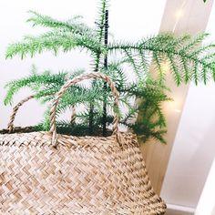 """Sandra's Instagram post: """"▫️ Araucaria ▫️ mon petit Pin de l'île de Norfolk  Denier vendredi avant le grand départ pour les festivités de Noël. Aujourd'hui encore…"""" Pin, Norfolk, Instagram, Noel, Friday, Plants"""