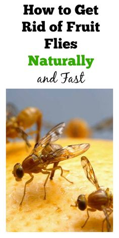 How to Kill Fruit Flies Naturally and Fast