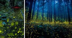 We often give you great reasons to visit Japan, but for those of you who still aren't convinced, here's yet another brilliant excuse to visit the Land of the Rising Sun. Fireflies!