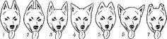 Экстерьер и стати лаек 1 — нормальный постав; 2 — сближенные уши; 3 — широко поставленные; 4 — развешенные; 5—округлые вершины ушей; 6 — низко поставленные уши; 7 — полустоячие