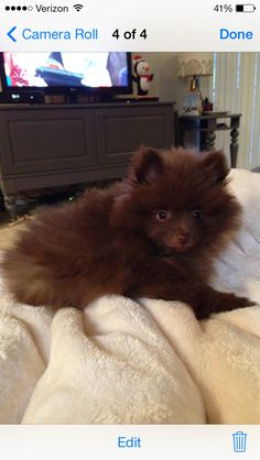 Chocolate pomeranian puppy!!! Squeal!