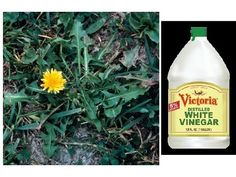 Good Homemade Weed Killer - safe and organic (with options to use in spots you do want other things to grow in AND for those where you want to kill all future growth completely - like driveways and such).