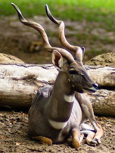 Lesser kudu - they look like a Mythical Creature!