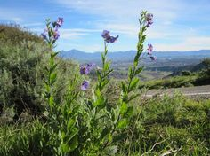 Spring blooms on hill above Aliso and Woods Canyon Wilderness Park between Top of the World and Moulton Meadows, Laguna Beach #hiking
