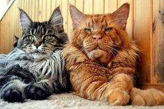 Maine Coon Cats Tig and Clay