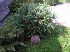 """... a """"Bamboo bush"""" of Sasaella masamuneana. This is a large-leaved, low growing bamboo that we keep in the shape of a small bush. In the bottom-left the Dryopteris atrata fern."""