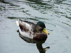 Ducks @Perry Hall Park