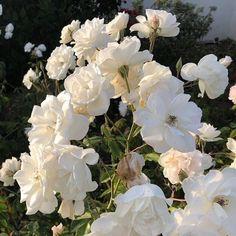 Nature Aesthetic, Flower Aesthetic, White Aesthetic, White Flowers, Beautiful Flowers, All The Bright Places, No Rain No Flowers, My Flower, Aesthetic Pictures