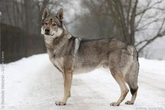 chien loup tchécoslovaque - Google Search