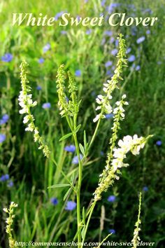 "White Sweet Clover: The flowers of sweet clover are a major source of nectar for honey bees due to their high sugar content.  ""Mellilotus"" is Greek for ""honey"", referring to the plant's use as a nectar source."