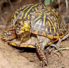 Ornate box turtle by antonsrkn, via Flickr/ This is what our Colorado Box turtles look like. From above, the yellow markings look a bit like flowers.