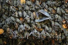 Mexican free-tailed bats roosting. Credit Merlin D. Tuttle/Bat Conservation International